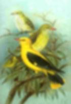 itheam, le loriot jaune