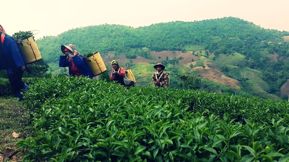 101 Oolong Tea Plantation Thailand