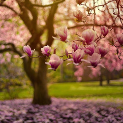 The Magnolias are really quite beautiful this year. I could spend  hours under these blossoms