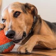 cute-dog-chewing-ball_t20_ywNxxW.jpg