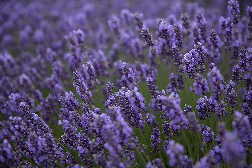 Lavender Honey Fields Aluminum Print