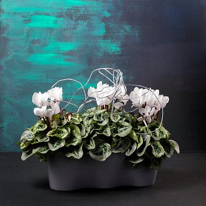Cyclamen Planters