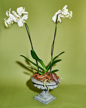 XL Orchid in urn