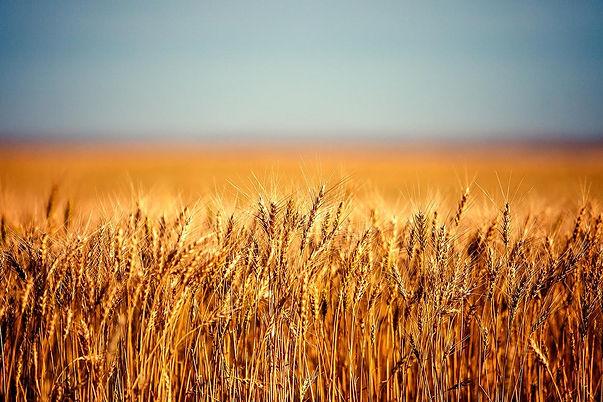Farm-Landscape-Photo-of-Wheat.jpg