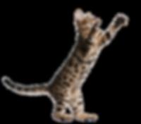 cat-kitten-transparent-png-images-free-d