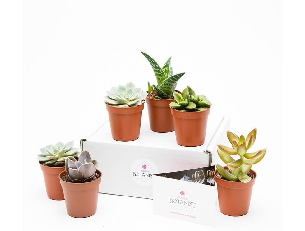 MINI SUCCULENT COLLECTION - 6 PLANTS