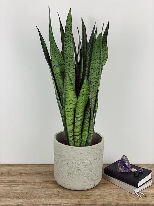 SAMMY - BLACK CORAL SNAKE PLANT