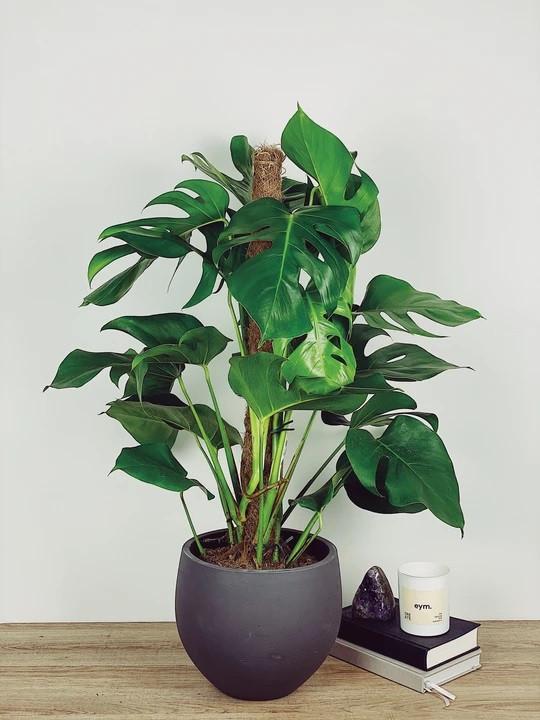 MONTY - SWISS CHEESE PLANT