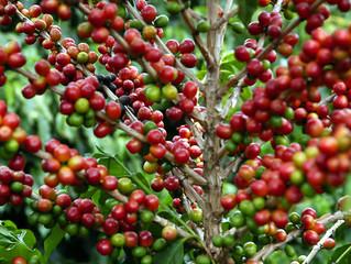 Boa safra: 88% dos cafés já armazenados pela Cooxupé são de alta qualidade