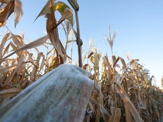 Milho: geada pode aumentar perdas este ano, alerta analista.