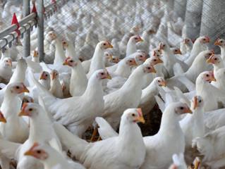 Preços do frango registram alta na granja e atacado de 2,8% e 0,8%, respectivamente