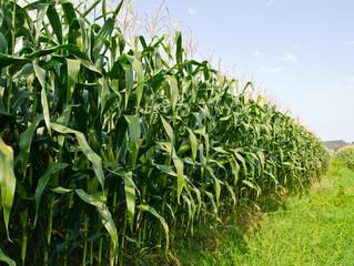MT tem maior área de milho desde 2014