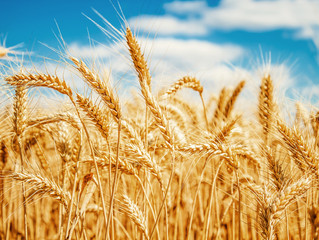 Produtor obtém recorde de produtividade de trigo