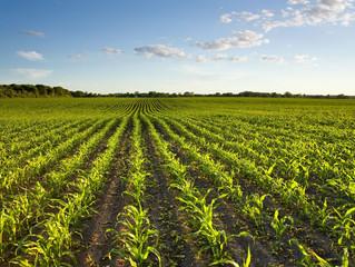 Em MS lavouras com milho safrinha apresentam baixa incidência de doenças