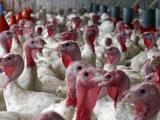 Perus: veja como prevenir doenças exclusivas e também comuns aos frangos