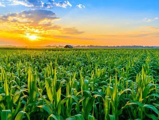 Clima favorece lavouras de milho