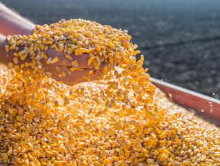 Cotações do milho no Brasil devem ficar em alta enquanto o dólar seguir valorizado ante ao real