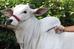 Agência de Defesa Sanitária Animal de MS alerta para casos de raiva bovina no estado