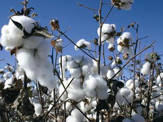 Mercado de algodão registra alta de 7,4% na última semana