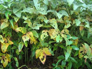 Eficiência no manejo de doenças da soja depende de atenção em fatores essenciais; especialista detal
