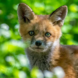 Montezuma Fox Kit