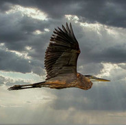 Blue Heron at Montezuma