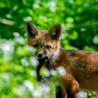 Fox at Montezuma