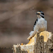 Woodpecker with Sawdust