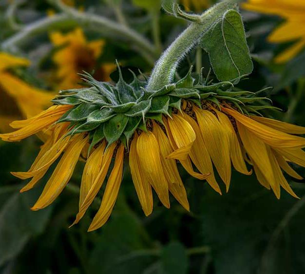 Tired Sunflower