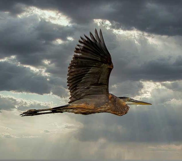 Blue Heron in the Clouds