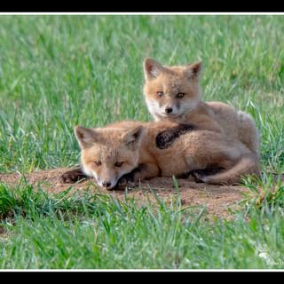 Fox in Mendon