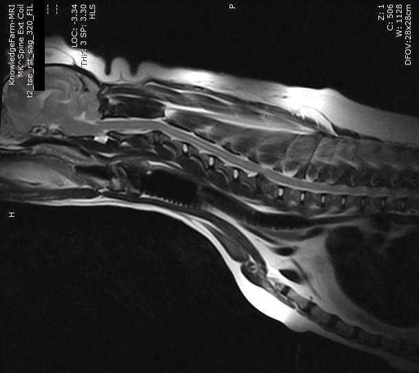 הדמיית MRI לכלבה עם פריצת דיסק צווארית המדגימה  T2 Haste
