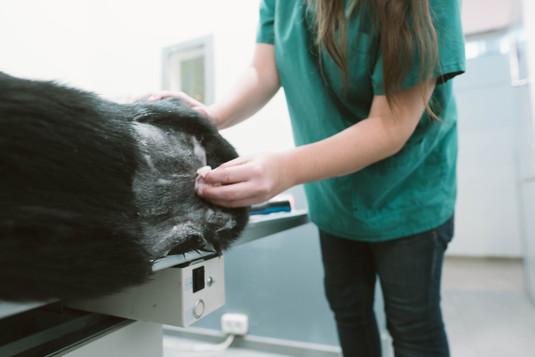 שני הטכנאית מנקה בצורה סטרילית כלב לצורך בדיקה
