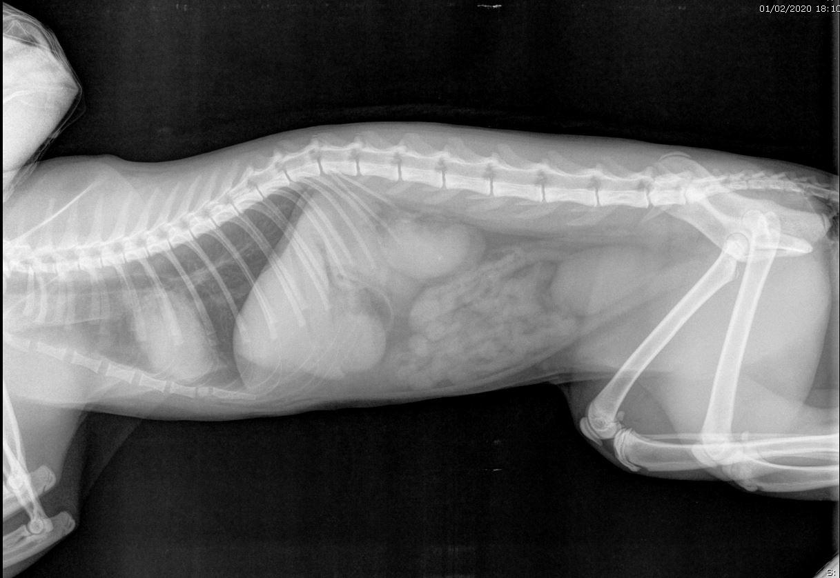XRAY חלל הבטן חתול.JPG