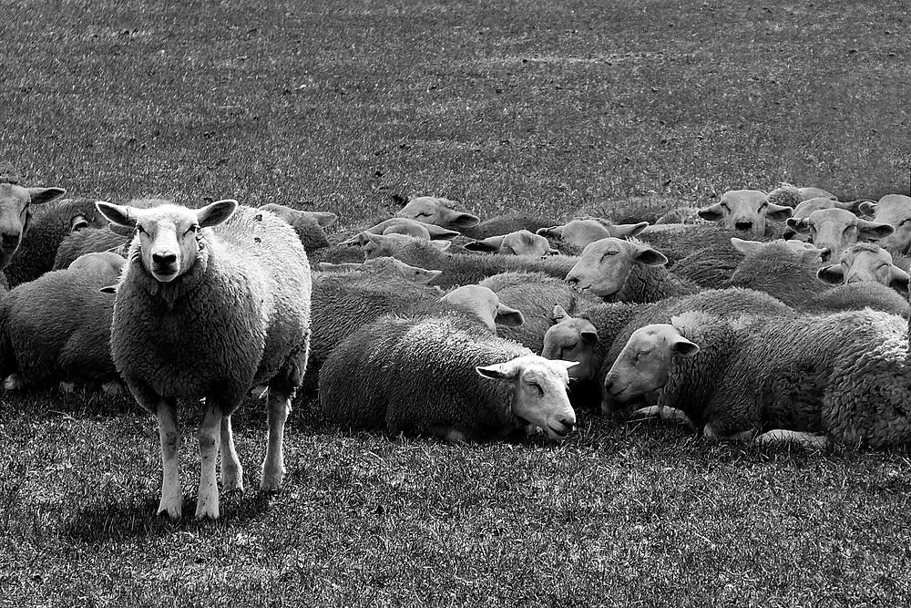 עדר כבשים נח בשדה מלבד כבשה אחת שעומדת.