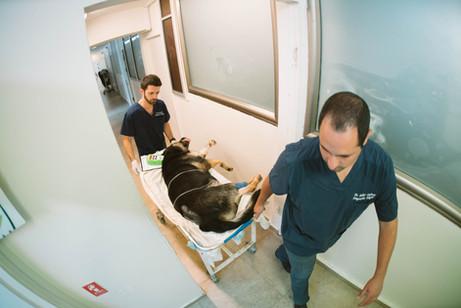 דוקטור אשר זפרני וחן הטכנאי מעבירים כלב על גבי מיטה