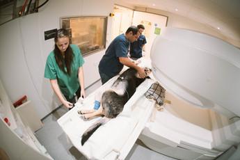 דוקטור אשר והטכנאים חן ושני ממקמים כלב לסריקת MRI
