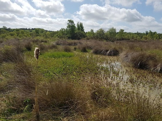 Brown bog with green vegetation and one bog cotton bloom in foreground