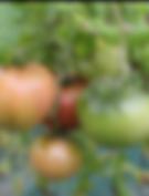 토마토.png