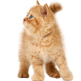 kitten-transparent-15.png