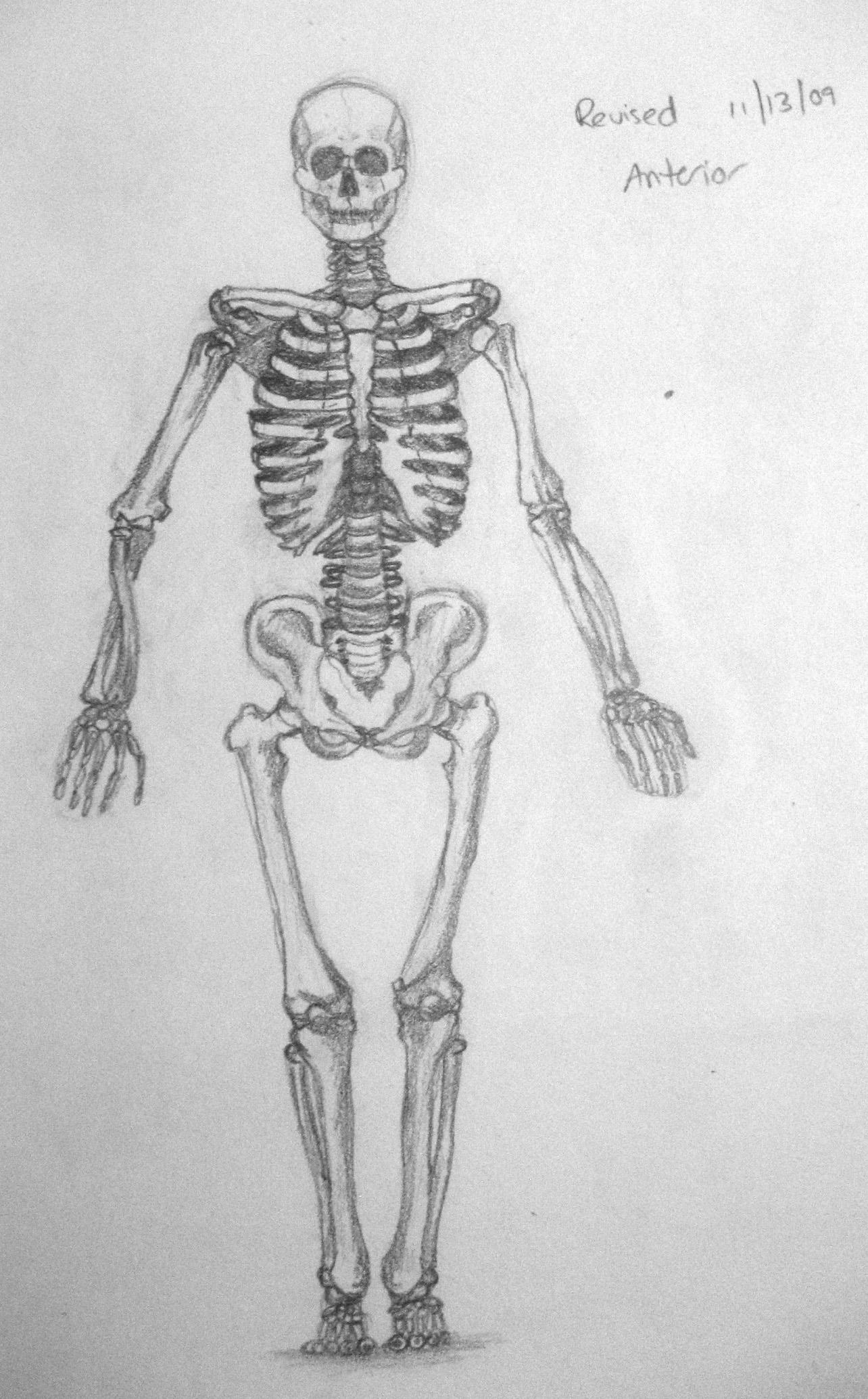 Anatomical Skeletal Study