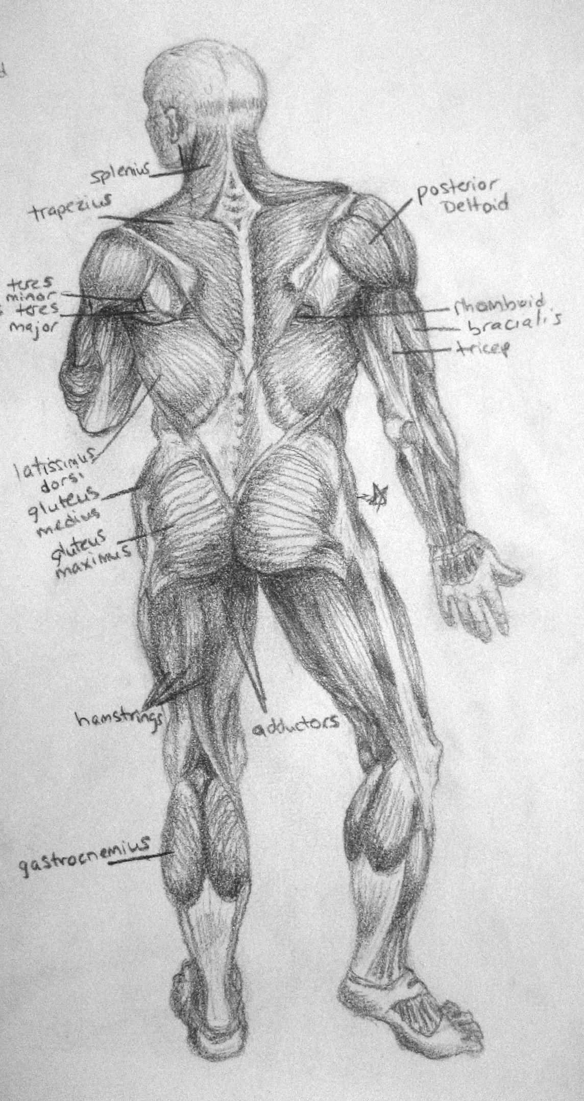 Anatomical Posterior Diagram