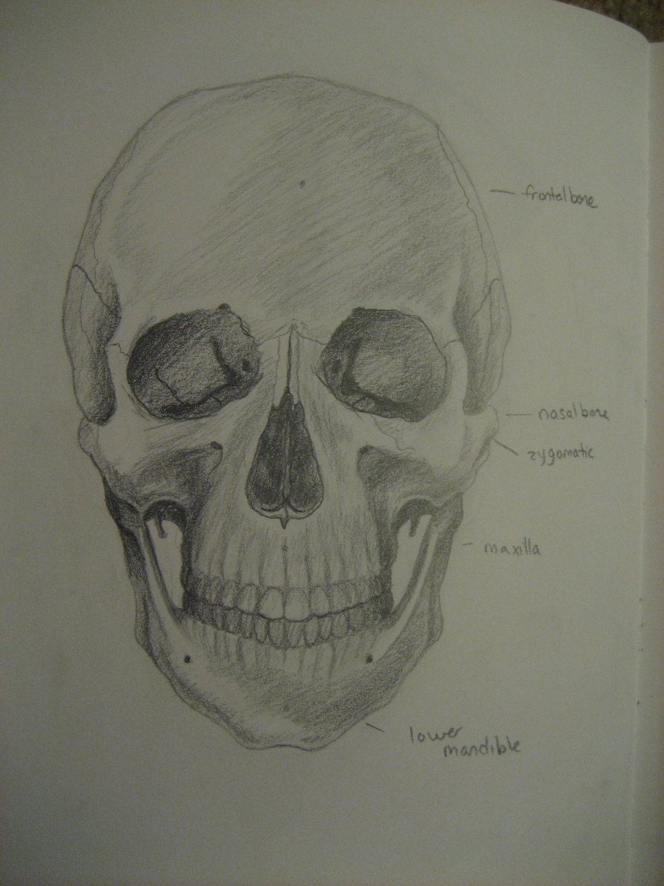 Anatomical Diagram of a Skull