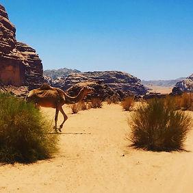 #wadirum #Jordan #desert #camel #fourleg