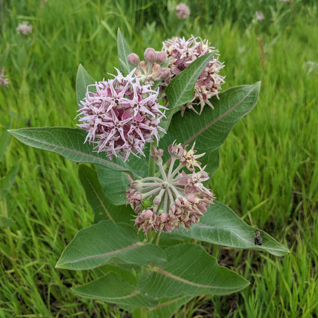 Foraging and Eating Showy Milkweed