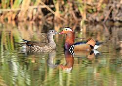 IMG_0165 Mandarin Ducks