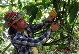 Recolector de Cacao