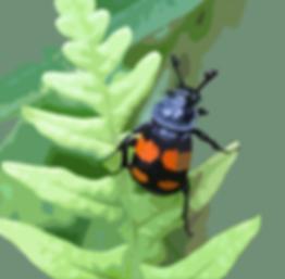 burying beetle drawing v4.png