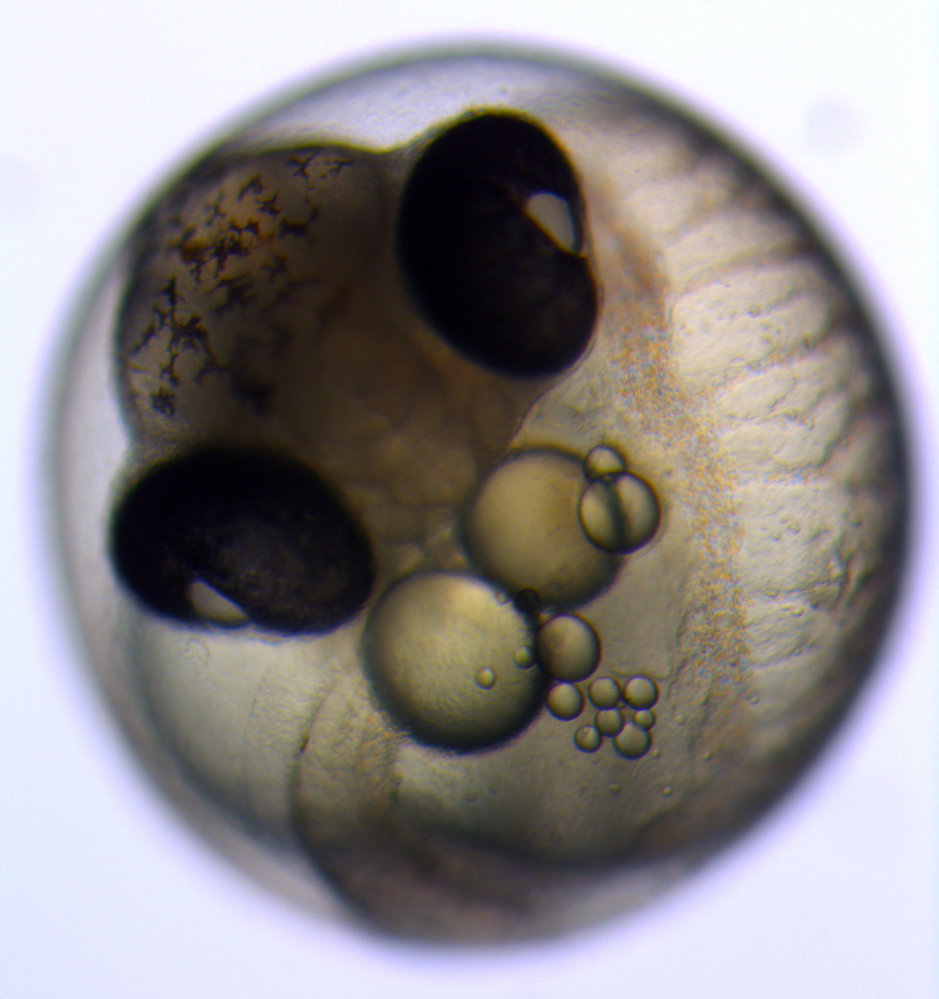 Three-spined stickleback embryo