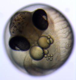 Three-spined stickleback embryo
